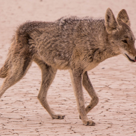 Coyotes in Texas
