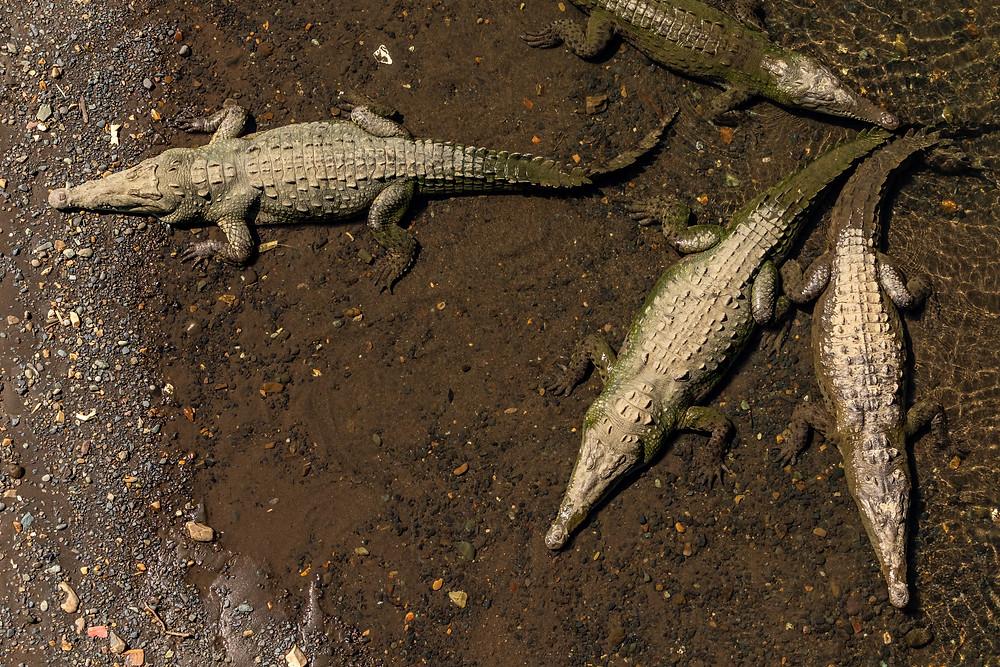 Crocodiles Río Tárcoles