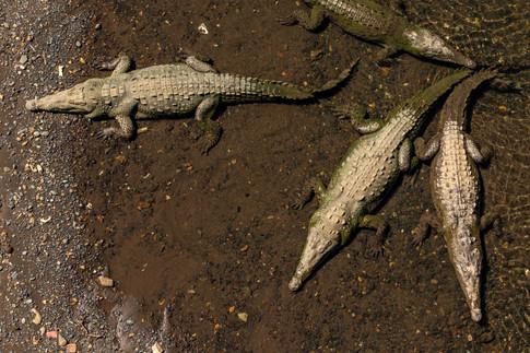 Crocodiles, photo de Zdeněk Macháček