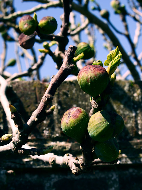 Fig Tree - Cape Brown