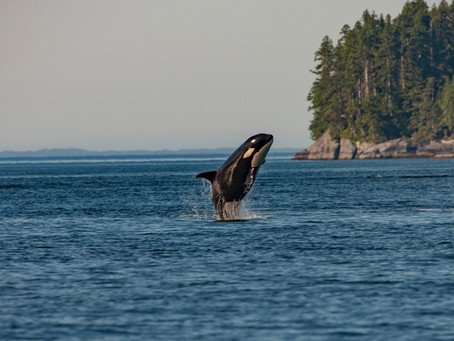 Whale Watching Tours from Victoria BC: a Comprehensive Review by Locals