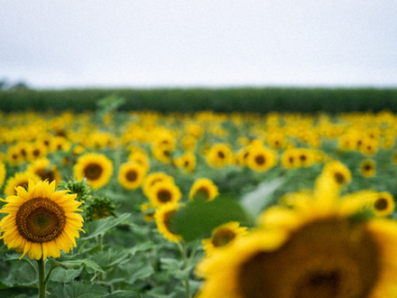 Where To Find Sunflowers In New England