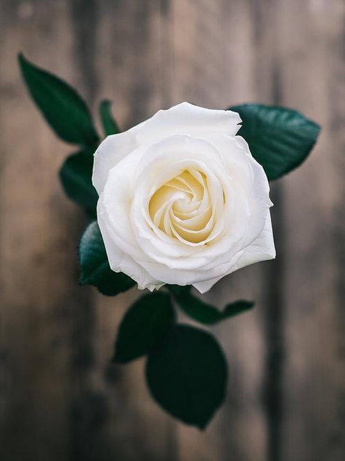 Cream Roses (25 Stems)