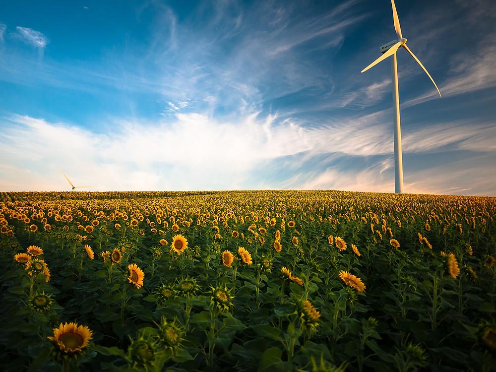 wind mill in a field of sunflowers.