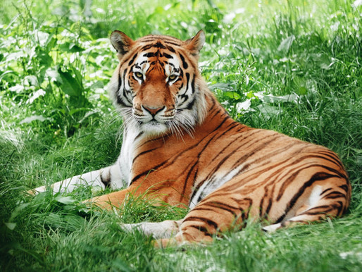 Accredited sanctuaries rescue lions, tigers and hybrid big cats from Tiger King Park
