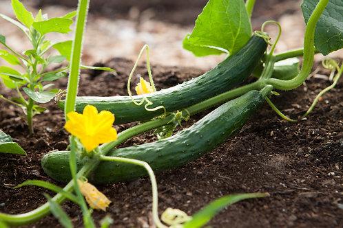 Cucumber Long English 6 pack