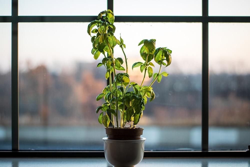 Indoor Basil plant