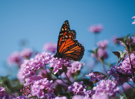 Monarch Butterfly Populations Are Shrinking