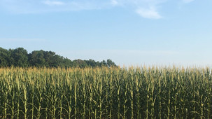 SC corn and bean acreage may increase if prices remain high