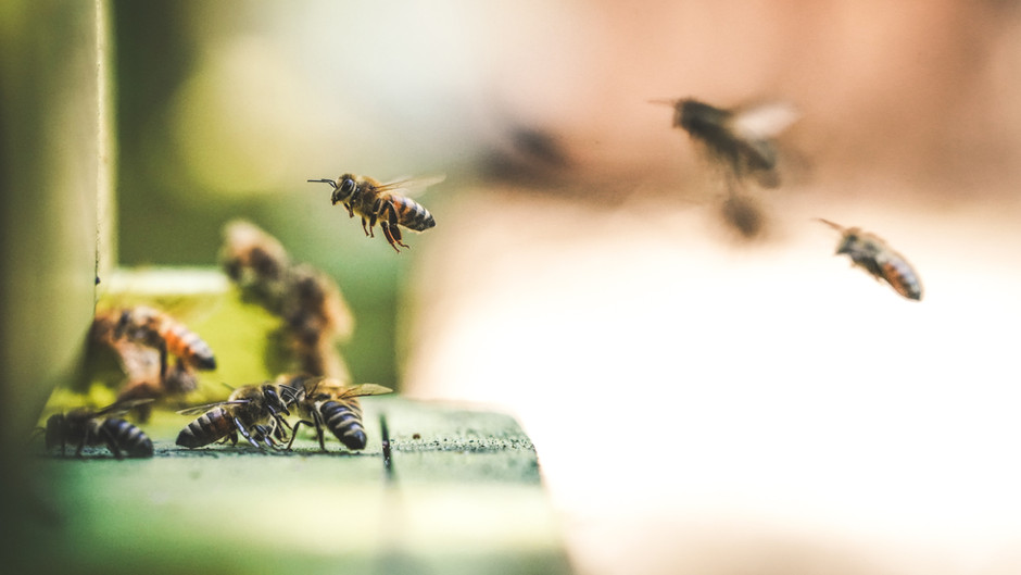 Bees thrive in pesticide free New York City