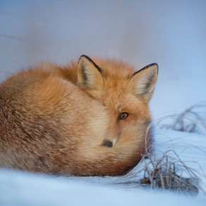 Communication animale intuitive : message du Renard roux.