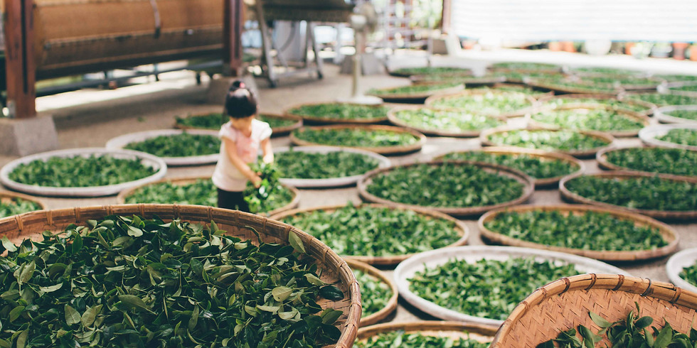 Online Tea Mindfulness and Tea Master Class 2 Six Kinds of Teas' Processing