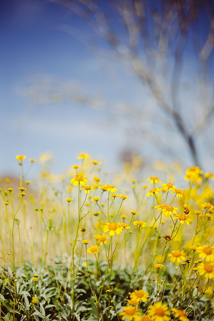 Upclose field of yellow wildflowers Image by Brandon LeClaire