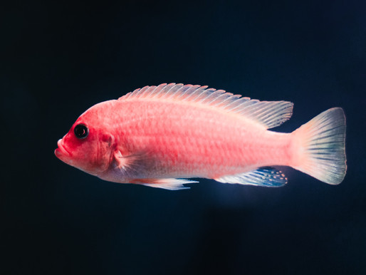 Fish's Light Absorbing Skin Makes it Virtually Invisible