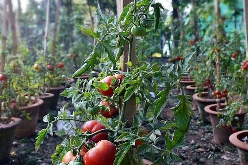 Tasty Tomato Plant Pack