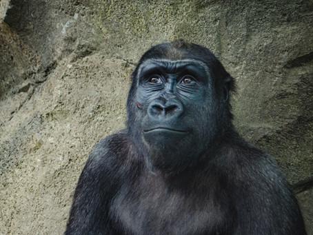 Not Another Chimera: Human-Monkey Hybrid