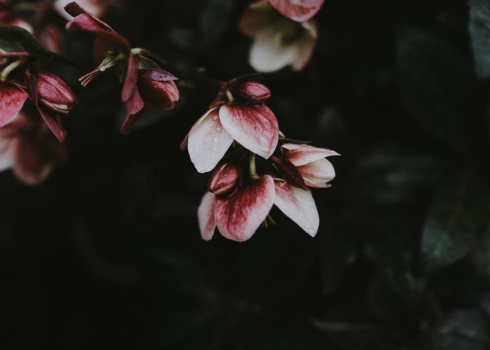 Winter flowering hellebore
