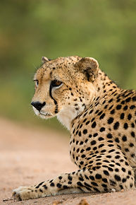 Saving Namibia's cheetahs
