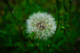 Dandelion | Victoria Clinic | Counseling4Life, LLC | Counseling in San Antonio, Counseling in San Angelo, Counseling in Victoria, Texas | Anxiety, depression, trauma, faith based, panic, stress, anger, bereavement, couples, children, play therapy, Christian counseling