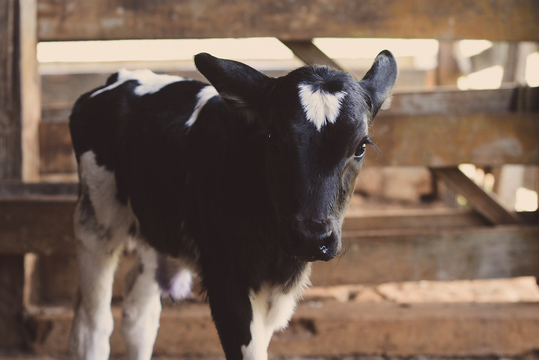 Calf Animal Station Centerburg Ohio
