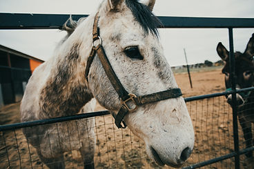 white haired horse peeking head over the fence during equine care visit