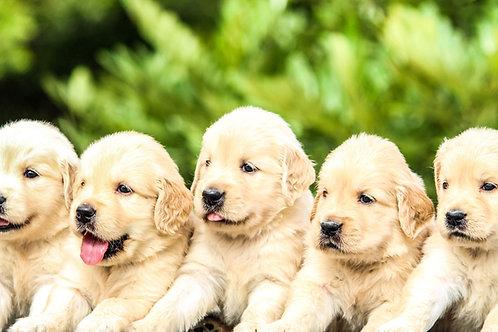 Puppy Training Class 6 weeks