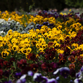 How to Grow Pansies & Violas
