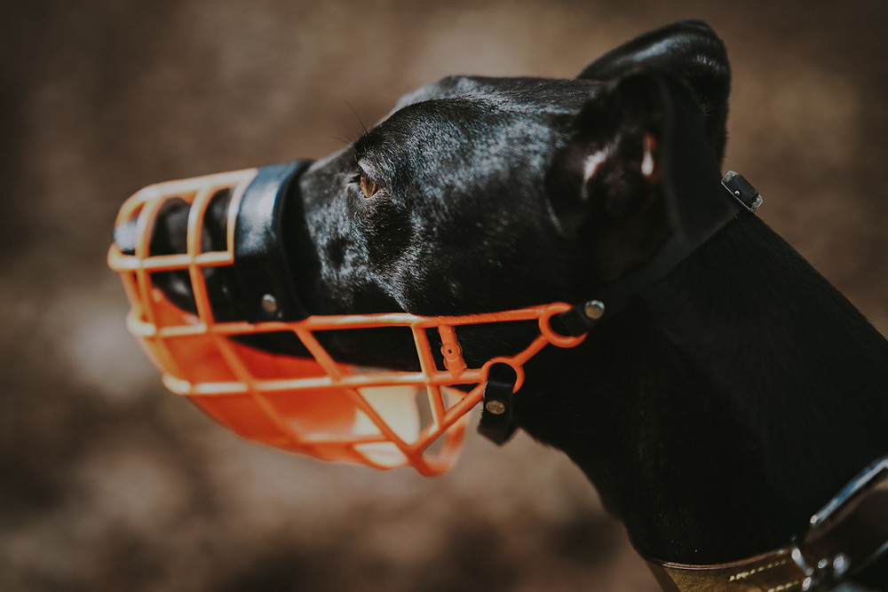 Black sighthound breed dog wearing a bright orange basket muzzle. Understand why your dog barks at other dogs, and find out how to stop it