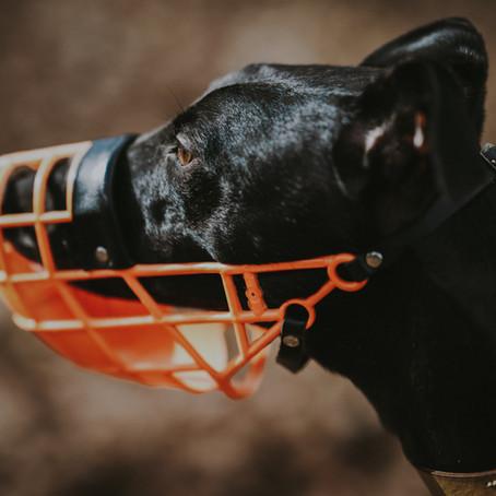 Hoe leer je jouw hond een muilkorf dragen