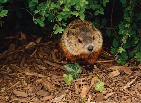Groundhog Day Meets COVID-19 Coronavirus