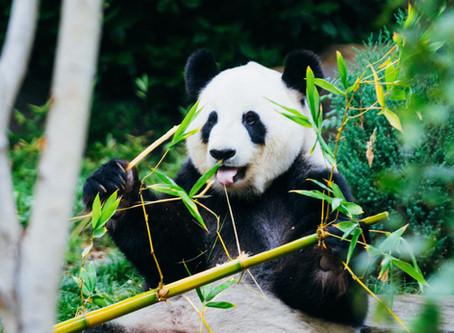Pandas: Gentle, Cute... Carnivores?