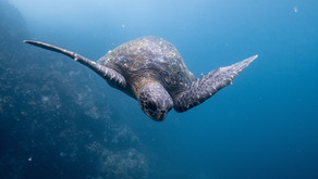 The amazing story of how Sea Turtles mate and reproduce. #oman
