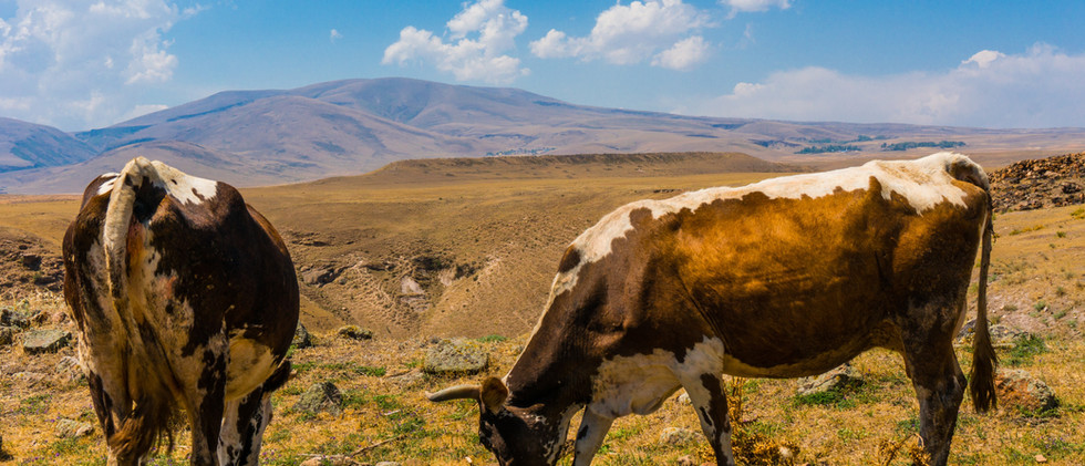Cows In The Field   Kars-Ani