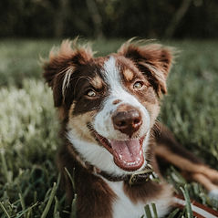 Dunbroke Toy Aussies and Pembroke Welsh Corgis - Priceville, Ontario - Dog Breeder - Seth Doyle Unsplash