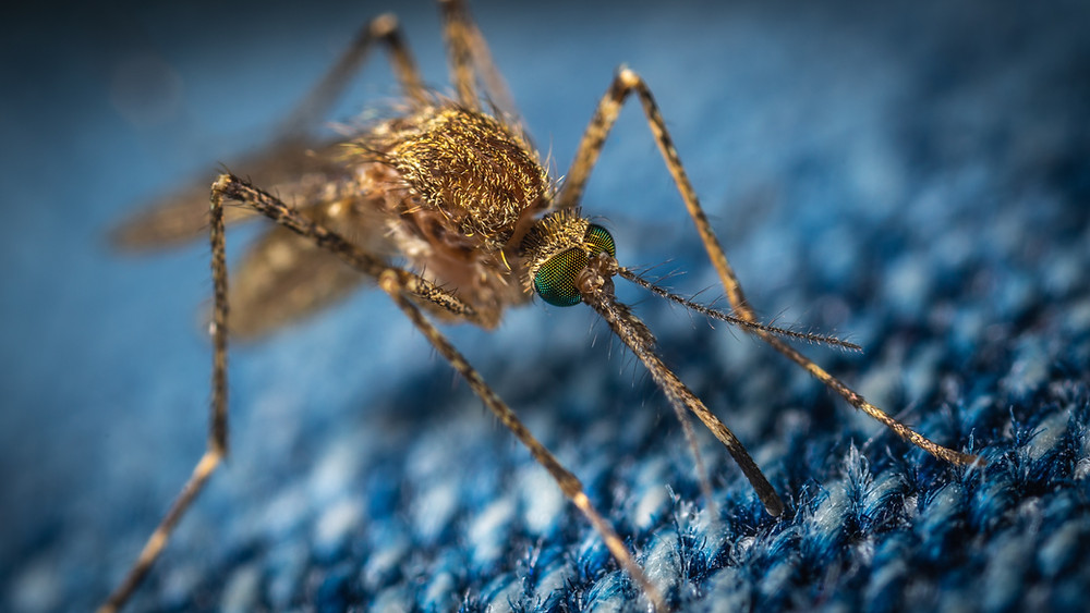 Malaria is cause by infected mosquitoes | The Clinic
