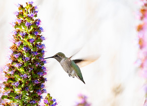 The Legend of the Hummingbird