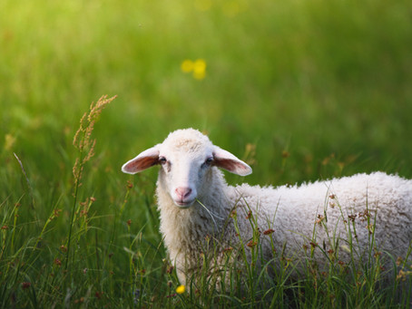 Easter Sunday (Ages 3-6): The Good Shepherd Lives