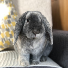 Just call me King! King of all bunnies because it is I who managed to hop onto this mighty couch!