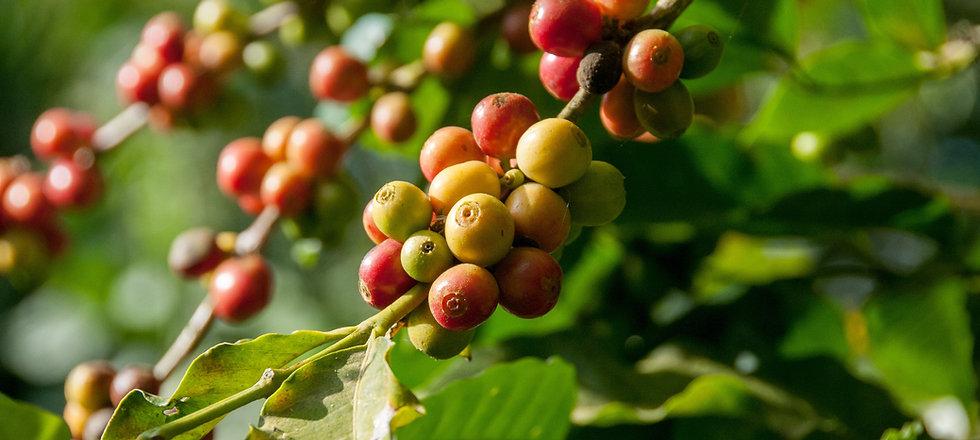 Organic Coffee Leaf Tea