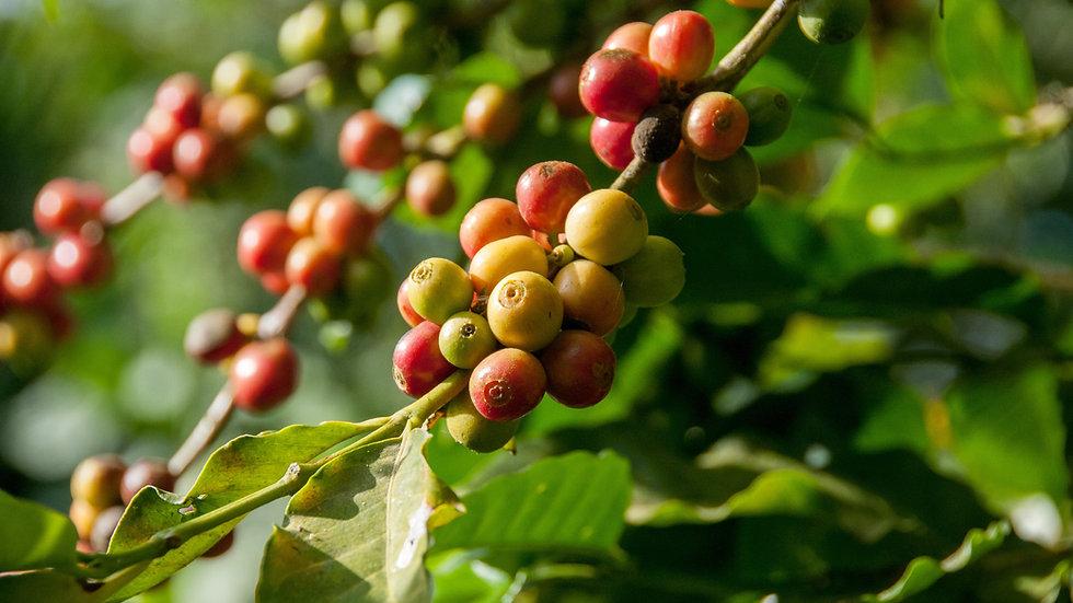 Coffee Cherry Tree in Burundi
