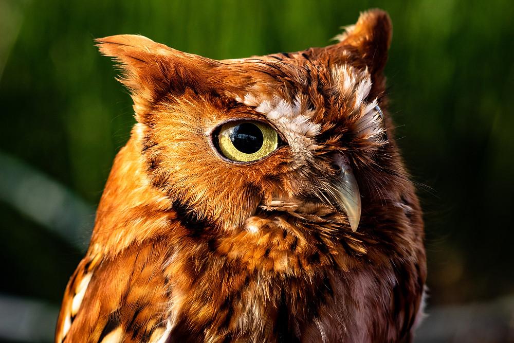 Rufous morph Eastern Screech-Owl