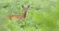 beautiful deer walking in ferns