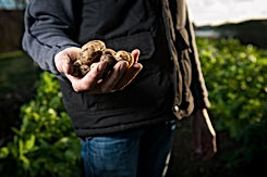 Producer, standing in a field and holding freshly dug up potatoes in his hand
