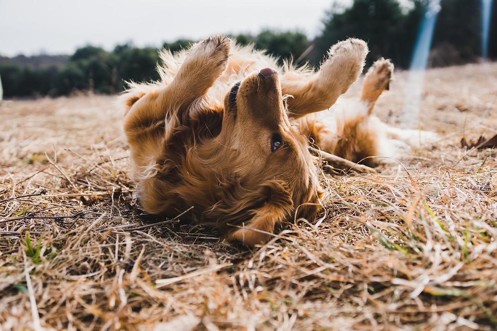 why does my dog roll? Maddie's Dog Academy