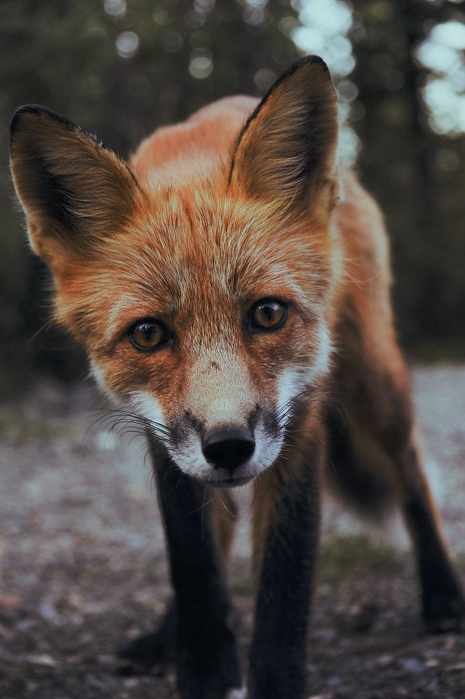 Miksi Fox kuljetus