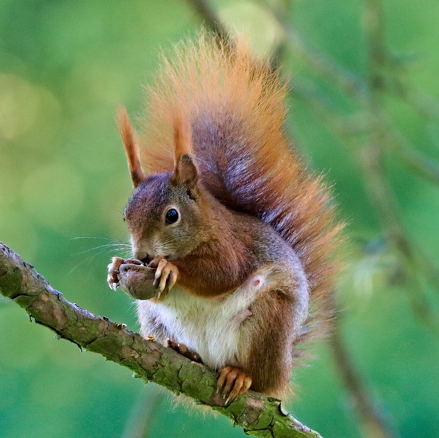 We see many Red Squirrels!