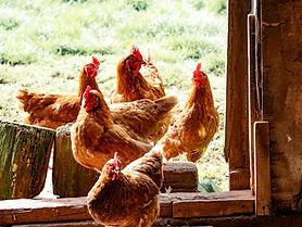 chicken coop - missouri - consultations - illinois - st. louis - chickens