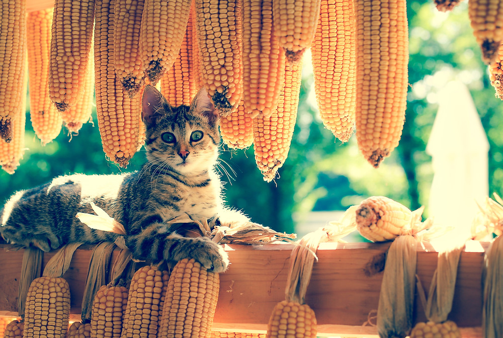 cat laying by drying popcorn on cob