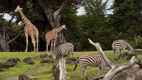 San Diego Zoo and San Diego Zoo Safari Park Are  Reopening!
