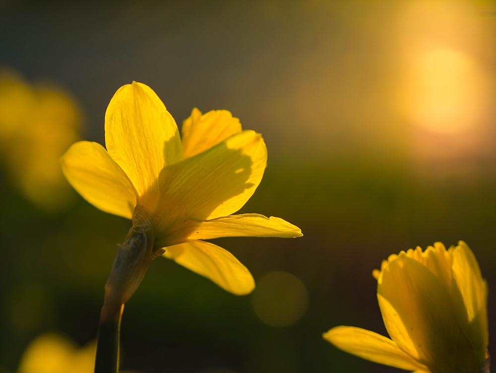 Daffodil bulbs, spring gardening
